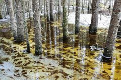 Spring flood. In the wild forest, with the trees standing and reflecting in the water. Melting snow and ice on the swamp. Spring in Norway Stock Image