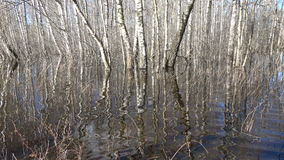 Spring flood water in birch forest. And reflections stock video