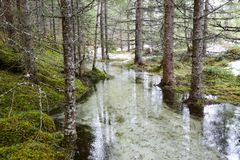 Spring flood. In the wild forest, with the trees standing and reflecting in the water. Melting snow and ice on the swamp. Spring in Norway Royalty Free Stock Image