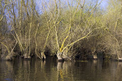 Spring flooded willow forest Stock Photography