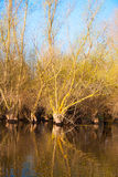 Spring flooded willow forest Royalty Free Stock Photography