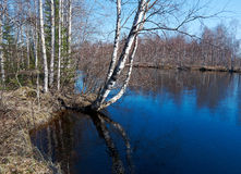 Spring flooding on the river. Russian landscape.Spring flooding on the river  Arkhangelsk region Royalty Free Stock Image