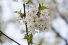 Spring Flora - Black Cherry Blossoms. In Daylight Royalty Free Stock Image