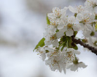 Spring Flora - Black Cherry Blossoms. In Daylight Stock Photos