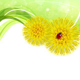 Spring floral background with coltsfoot Royalty Free Stock Image