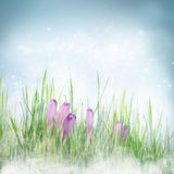 Spring floral background with crocus flowers