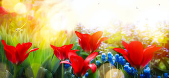 Spring floral background; fresh tulip flower on sky background Royalty Free Stock Image
