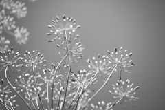 Spring Floral Background Monochrome Royalty Free Stock Image