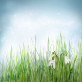 Spring floral background with snowdrop flowers Royalty Free Stock Photo