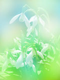 Spring floral background - snowdrops Royalty Free Stock Photo
