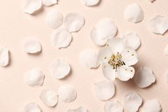 Spring floral background, texture and wallpaper. Flat-lay of white almond blossom flowers and petals over pink background royalty free stock photo