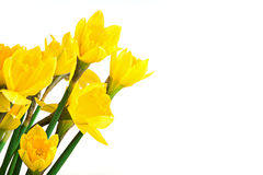 Spring floral border, beautiful fresh daffodils flowers, isolated on white background. Royalty Free Stock Photography