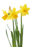 Spring floral border, beautiful fresh narcissus flowers. Stock Photos