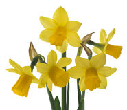Spring floral border, beautiful fresh narcissus flowers. Stock Photography