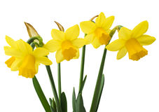 Spring floral border, beautiful fresh narcissus flowers Royalty Free Stock Photos