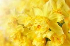 Spring floral border with narcissus Stock Image