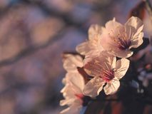 Spring floral concept. Full blooming of apricot tree. Beautiful flower on an abstract blurred background. Detailed closeup with. Soft selective focus stock photography