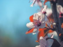 Spring floral concept. Full blooming of apricot tree. Beautiful flower on an abstract blurred background. Detailed closeup with. Soft selective focus royalty free stock photography