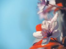 Spring floral concept. Full blooming of apricot tree. Beautiful flower on an abstract blurred background. Detailed closeup with. Soft selective focus stock photos