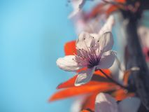 Spring floral concept. Full blooming of apricot tree. Beautiful flower on an abstract blurred background. Detailed closeup with. Soft selective focus stock photo