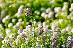 Spring floral landscape - field of Lobularia maritima flowers- common name sweet alyssum or sweet alison. Royalty Free Stock Photos