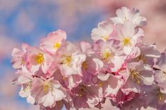 Spring florets in a garden in sunny day. Blooming flowers cherry tree stock photos