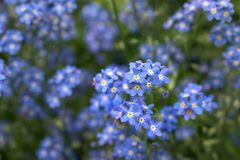 Spring flower. Blue spring flowers Royalty Free Stock Images