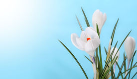 Spring flower Royalty Free Stock Photo