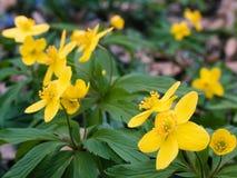 Spring flower. Bright yellow spring flower iin full bloom Stock Image