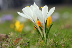 Spring flower. S, blooming white crocus royalty free stock photo