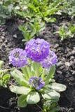 Spring flower Royalty Free Stock Photos