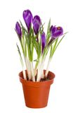 Spring flower. In pot isolated Royalty Free Stock Photo