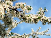Spring flower. Wild apple flower in a sunny day Stock Image