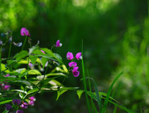 Spring flower. A beautiful and dreamy spring flower sweet pea Royalty Free Stock Photography