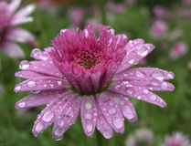 Spring flower. With water drops stock photo