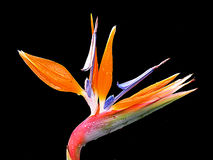 Spring flower. (birds of paradise stock image