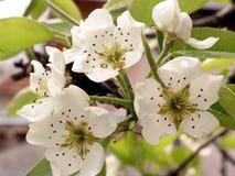 Spring flower. Pear flower stock images