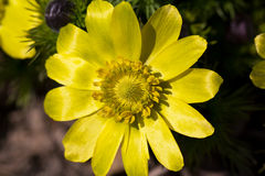 Spring flower of adonis vernalis in the garden closeup Royalty Free Stock Photo