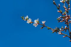 Spring flower apricots on a blue background, with place for your Stock Photo