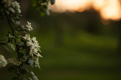 Spring flower background - abstract floral border green leaves and white flowers. Boke. Sunset. Stock Image