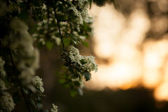 Spring flower background - abstract floral border green leaves and white flowers. Boke. Sunset. Stock Photography