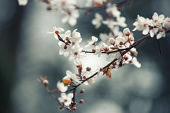 Spring flower background, branch of blooming cherry tree Royalty Free Stock Images