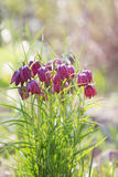 Spring flower background (Fritillaria meleagris). Royalty Free Stock Photo