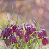 Spring flower background Fritillaria meleagris. Royalty Free Stock Photography