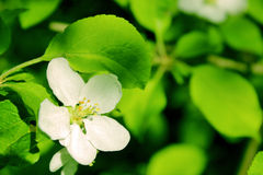Spring flower. Flower on a background of green leaves Royalty Free Stock Image