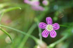 Spring flower background of Gypsophila tiny flower bloom, macro royalty free stock image