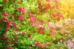 Spring flower background. Hawthorn tree pink flowers, in Latin Crataegus Laevigata stock photography