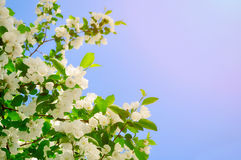 Spring flower background - white apple flowers in blossom lit by bright sunlight. Royalty Free Stock Images