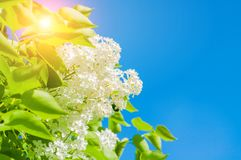 Spring flower background with white lilac flowers against blue sky Stock Photography