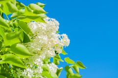Spring flower background with white lilac flowers against blue sky in sunny weather Royalty Free Stock Photography